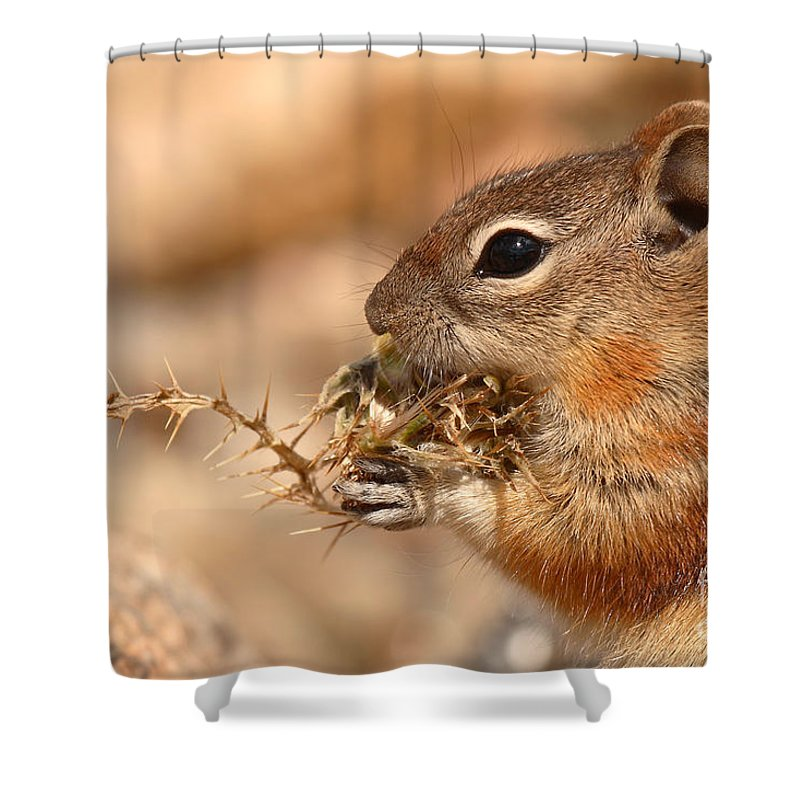 Squirrel Shower Curtain featuring the photograph Golden-mantled Ground Squirrel Eating Prickly Spine by Max Allen