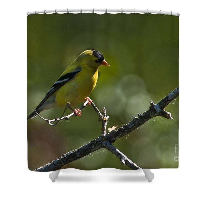 Gold Finch Shower Curtain featuring the photograph Goldie by Rod Wiens