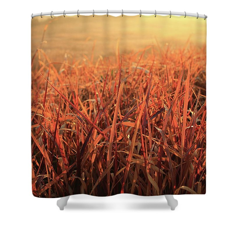 Morning Shower Curtain featuring the photograph Grass Dyed In The Morning Glow by Minori Koishi