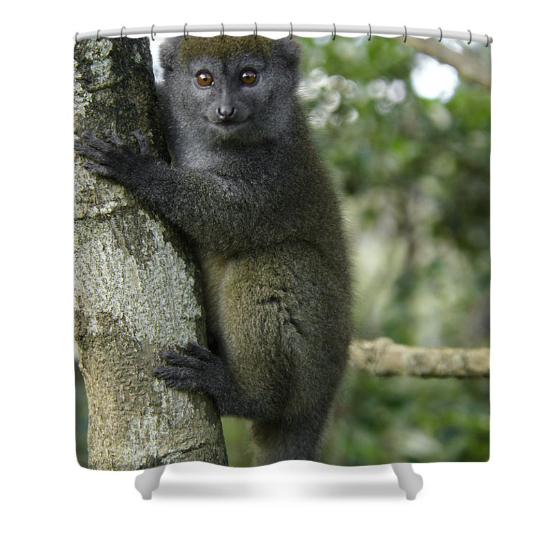 Madagascar Shower Curtain featuring the photograph Gray Bamboo Lemur by Michele Burgess