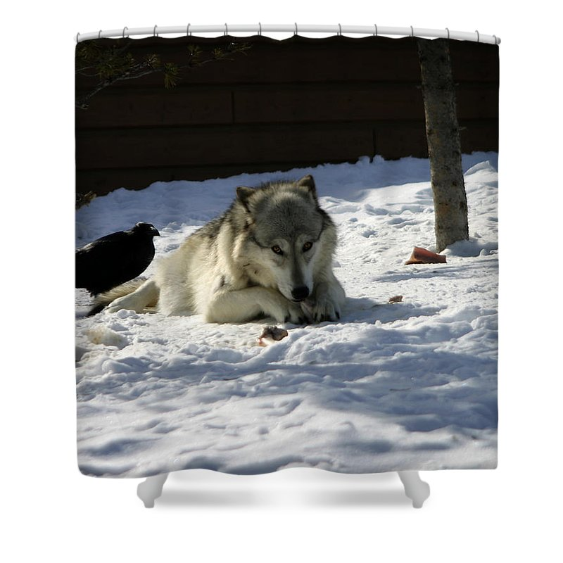 Gray Wolf Shower Curtain featuring the photograph Gray Wolf 3 by Anthony Jones