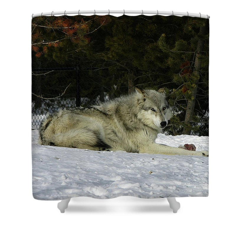 Gray Wolf Shower Curtain featuring the photograph Gray Wolf 5 by Anthony Jones