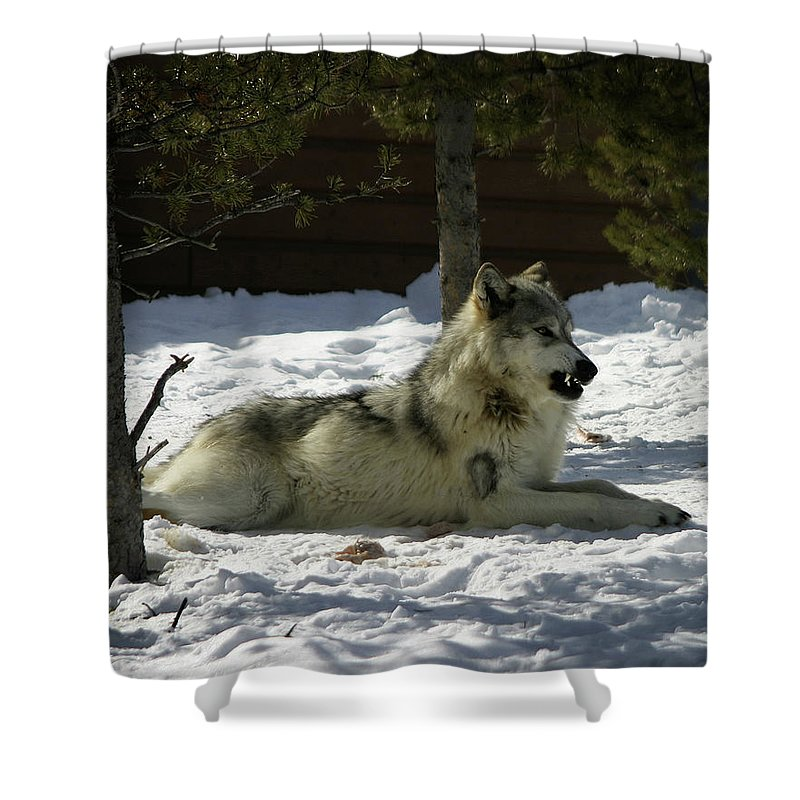 Gray Wolf Shower Curtain featuring the photograph Gray Wolf 6 by Anthony Jones