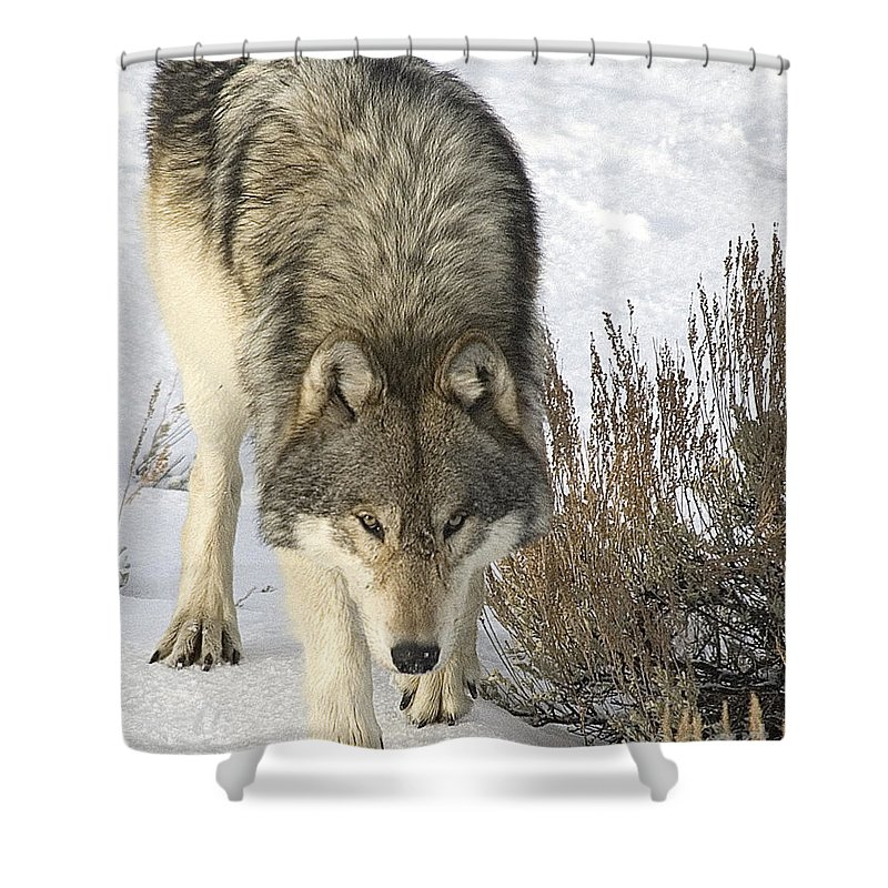 Wolf Shower Curtain featuring the photograph Gray Wolf by Gary Beeler