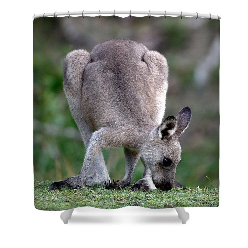 Grazing Shower Curtain featuring the photograph Grazing Kangaroo by Nicholas Blackwell