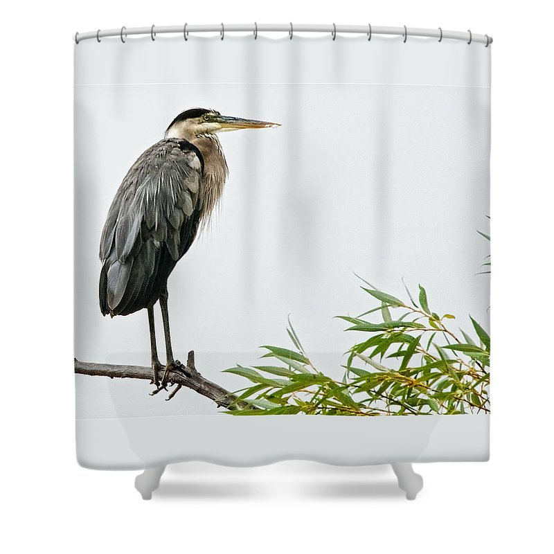 Nature Shower Curtain featuring the photograph Great Blue Heron in the Rain by Zayne Diamond Photographic