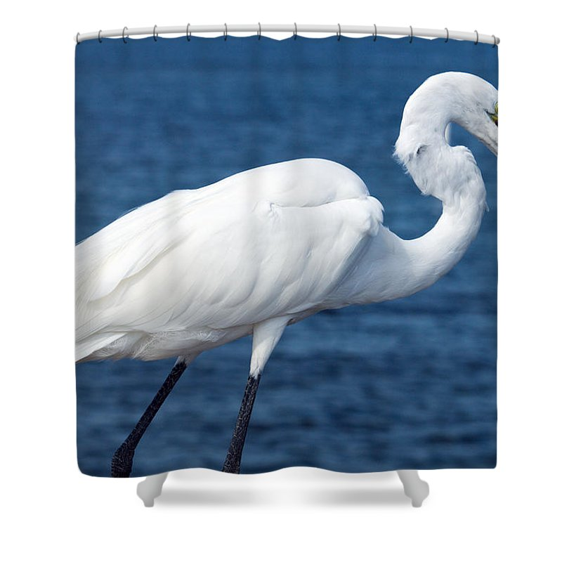 Great; Egret; Ardea; Alba; Eating; Eat; Fish; Redfish; Red; Bird; Seabird; Ocean; Indian; River; Lag Shower Curtain featuring the photograph Great Egret In Florida by Allan Hughes