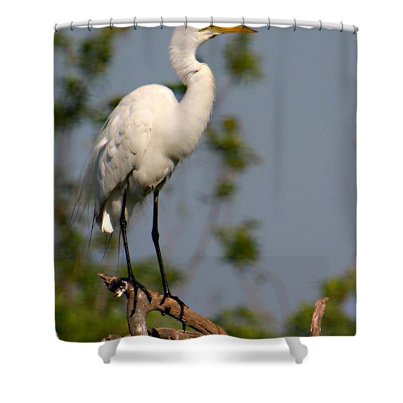Great White Egret Bird Feathers Flying Florida Sanctuary Wildlife Photograph Photography Shower Curtain featuring the photograph Great White Egret Pose by Shari Jardina