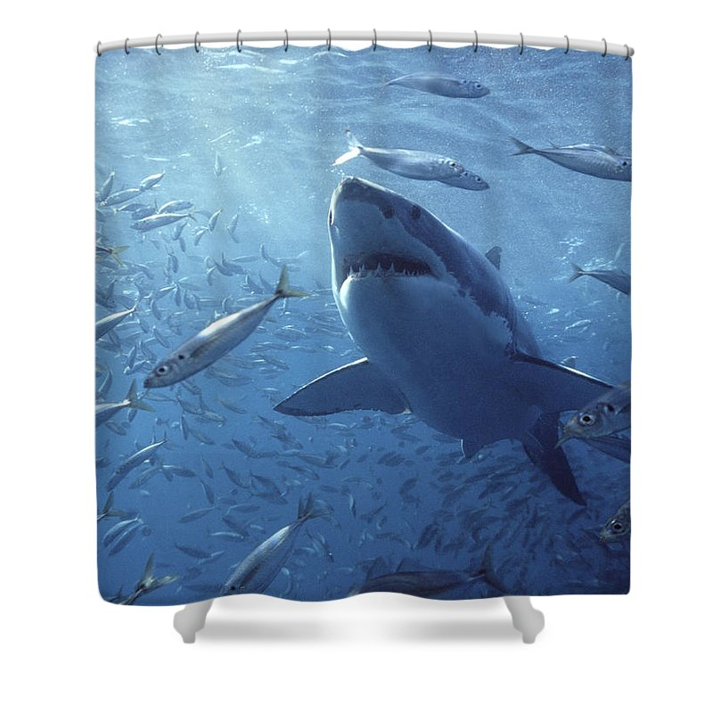 Mp Shower Curtain featuring the photograph Great White Shark Carcharodon by Mike Parry
