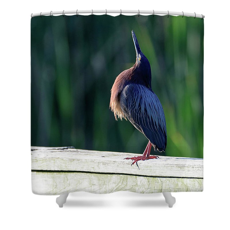 Green Heron Calling Softly In The Early Morning Shower Curtain featuring the photograph Green Heron Calling Softly In The Early Morning by Debra Martz