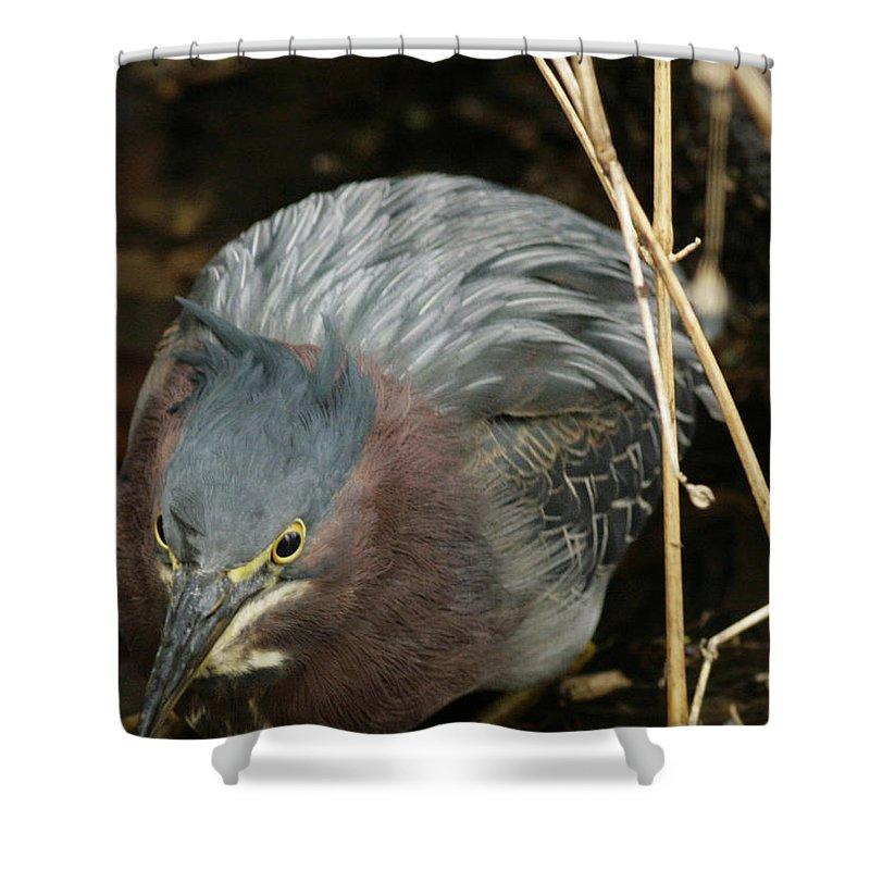 Birds Shower Curtain featuring the photograph Green Heron Hunting by Phill Doherty