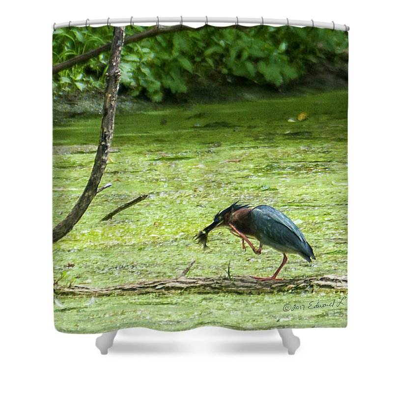 Green Heron Shower Curtain featuring the photograph Green Heron Lunch by Edward Peterson