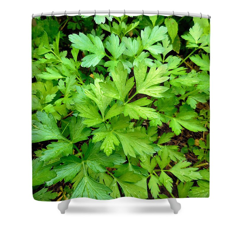 Parsley Shower Curtain featuring the painting Green Parsley 3 by Jeelan Clark