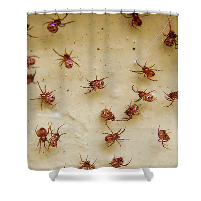 Group Of Baby Black Widow Spiders Shower Curtain