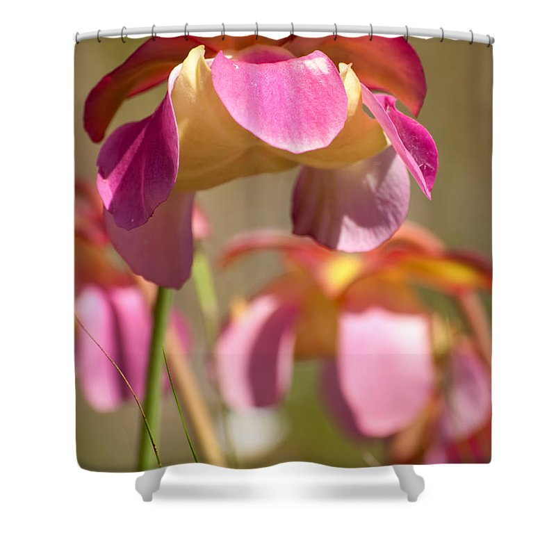 Pitcher Shower Curtain featuring the photograph Gulf Purple Pitcher Plant by Rich Leighton