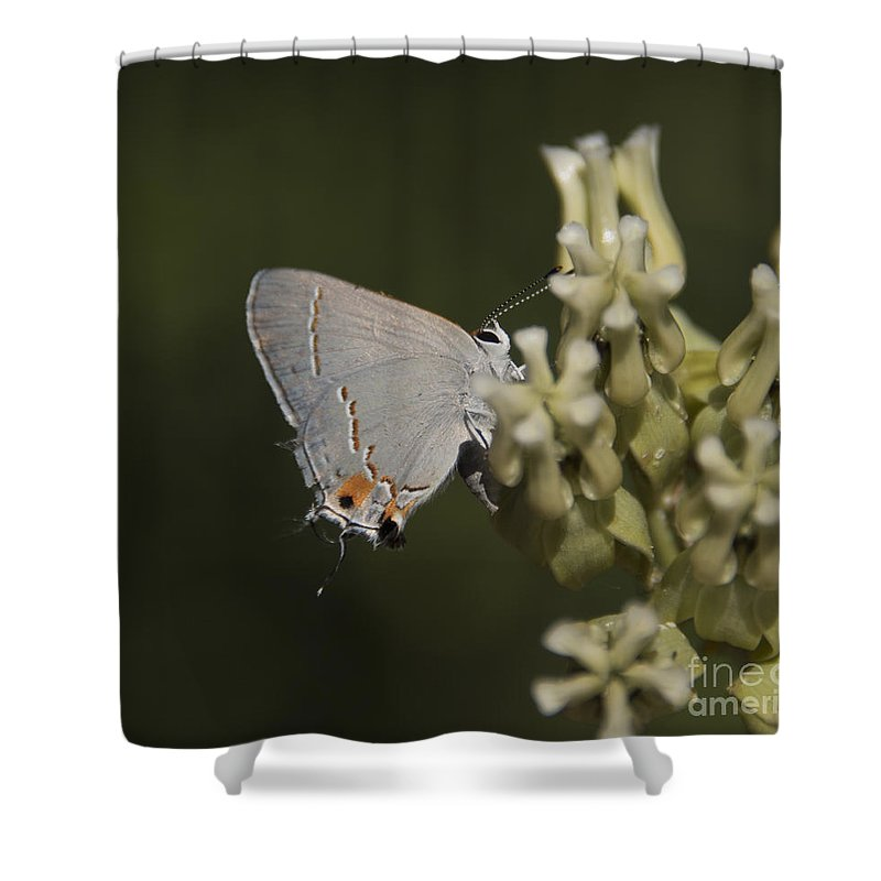 5. Insects Shower Curtain featuring the photograph Hairstreak Butterfly by Rich Governali
