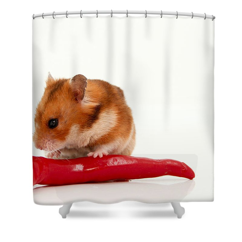 Hamster Shower Curtain featuring the photograph Hamster Eating A Red Hot Pepper by Yedidya yos mizrachi