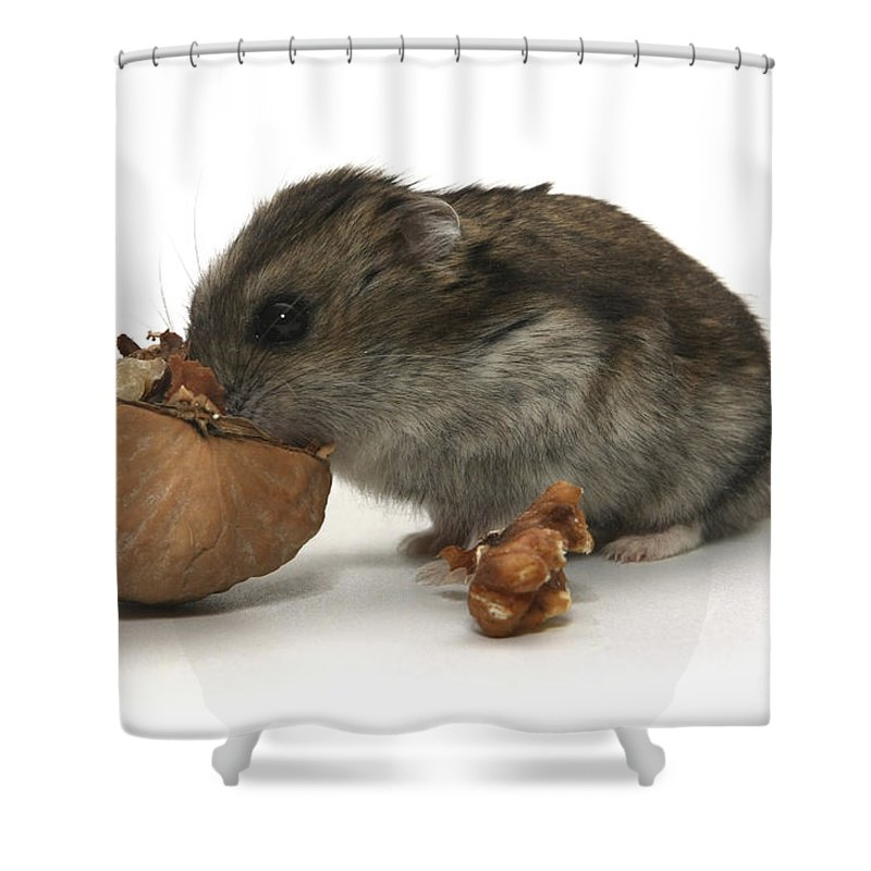 Hamster Shower Curtain featuring the photograph Hamster Eating A Walnut by Yedidya yos mizrachi