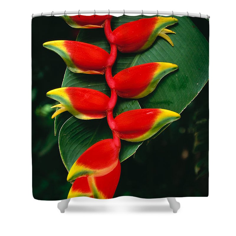 Bill Schildge Shower Curtain featuring the photograph Hanging Heliconia by Bill Schildge - Printscapes
