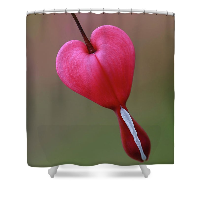 Bleeding Heart Shower Curtain featuring the photograph ...hanging On by Martina Schneeberg-Chrisien