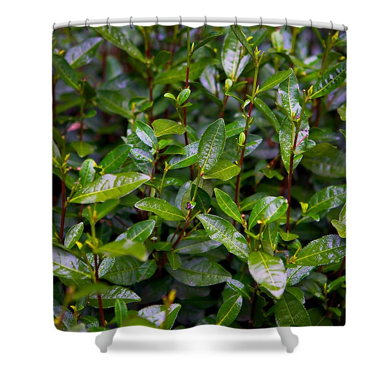 Tea Shower Curtain featuring the photograph Hangzhou Tea by James O Thompson