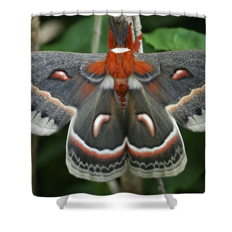 Cecropia Moth Shower Curtain featuring the photograph Happy Birthday by Randy Bodkins