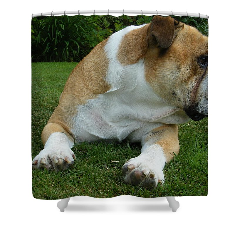 Bulldog Shower Curtain featuring the photograph Jasper Having A Rest by John Westwood