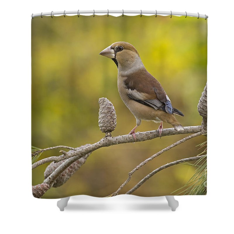 Finch Shower Curtain featuring the photograph Hawfinch Coccothraustes Coccothraustes by Alon Meir