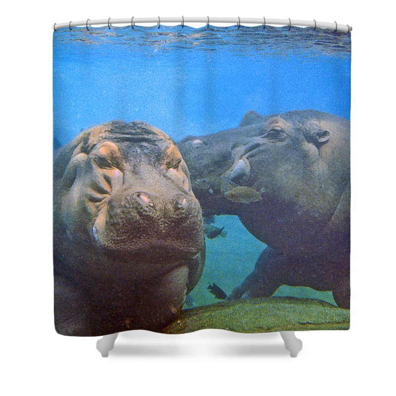 Animals Shower Curtain featuring the photograph Hippos In Love by Steve Karol