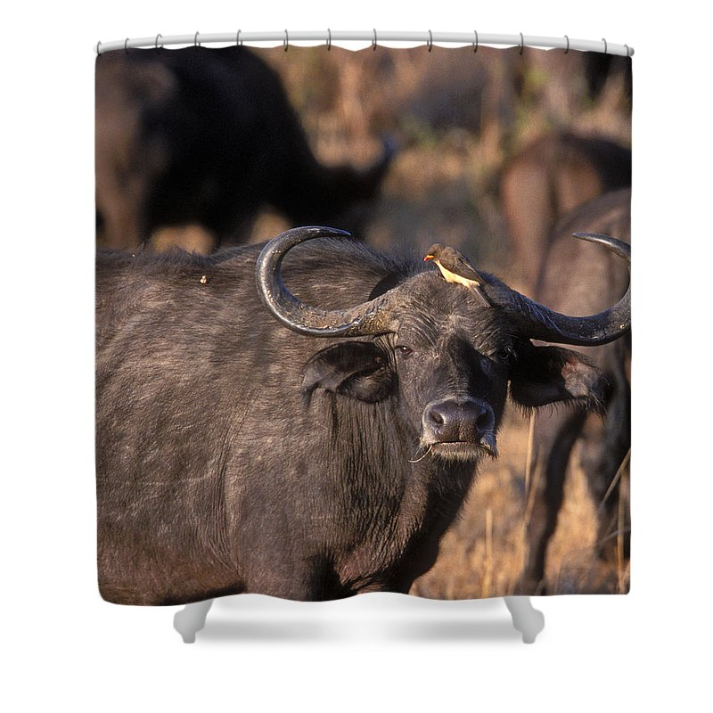 Cape Buffalo Shower Curtain featuring the photograph Hitching A Ride 1 by Sandra Bronstein