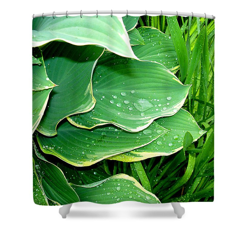 Hostas Shower Curtain featuring the photograph Hosta Leaves And Waterdrops by Nancy Mueller