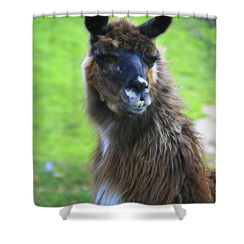Lama Shower Curtain featuring the photograph How Do I Look by Deborah Benoit