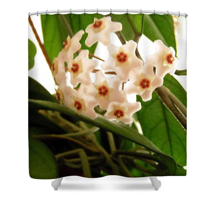 Hoya Flowers Shower Curtain featuring the photograph Hoya by Stephanie Moore