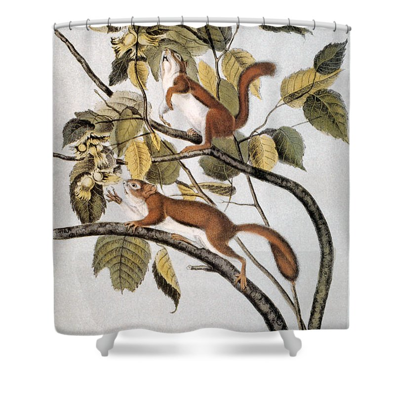 1846 Shower Curtain featuring the photograph Hudsons Bay Squirrel by Granger