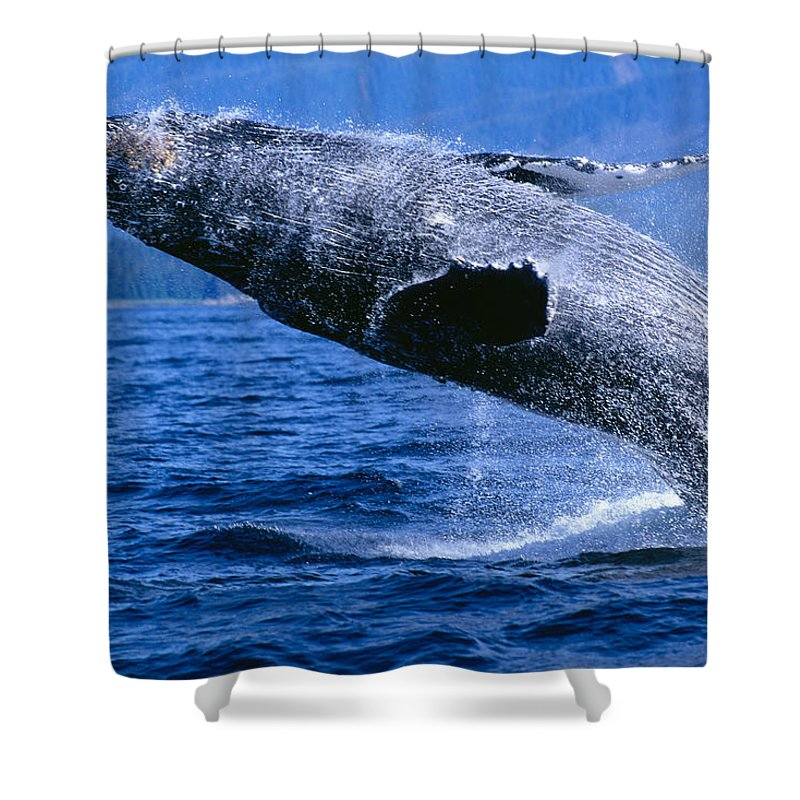 Animal Art Shower Curtain featuring the photograph Humpback Full Breach by John Hyde - Printscapes