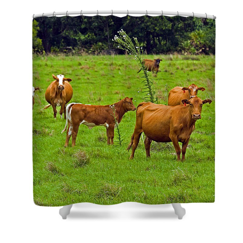 Black; Red; Angus; Brahman; Simmental; Red Poll; Hereford; Cattle; Braford; Cow; Cows; Bull; Milk; B Shower Curtain featuring the photograph Hybrid Cattle On The Deseret Ranch In East Central Florida by Allan Hughes