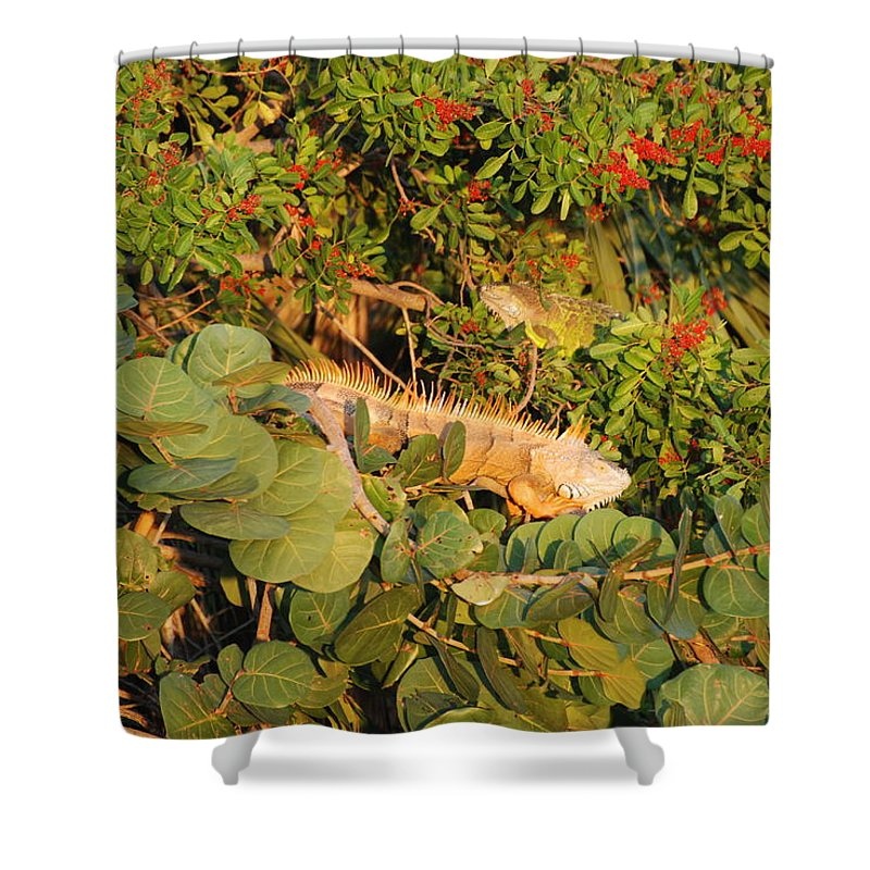 Sunset Shower Curtain featuring the photograph Iguanas by Rob Hans