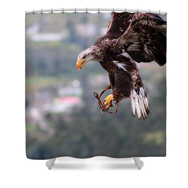 American Bald Eagle Shower Curtain featuring the photograph Immature Bald Eagle Landing by Robert Hamm