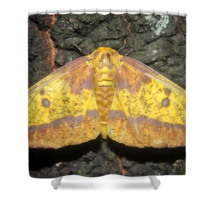 Imperial Moth Shower Curtain featuring the photograph Imperial Moth by David Lee Thompson