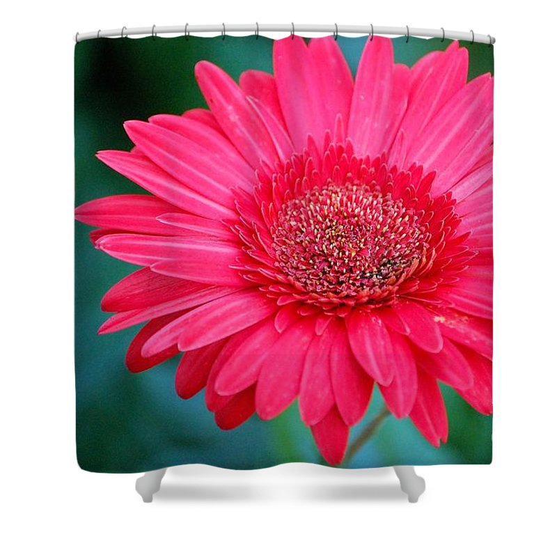 Gerber Daisy Shower Curtain featuring the photograph In The Pink by Debbi Granruth