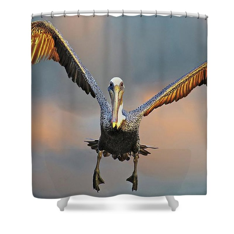 Nature Shower Curtain featuring the photograph Incoming II, California Brown Pelican by Zayne Diamond Photographic