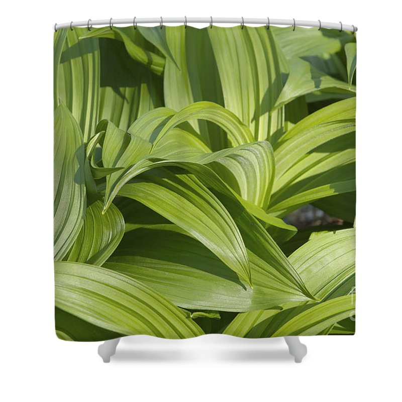 Landscape Shower Curtain featuring the photograph Indian Poke - Veratrum Veride- by Erin Paul Donovan