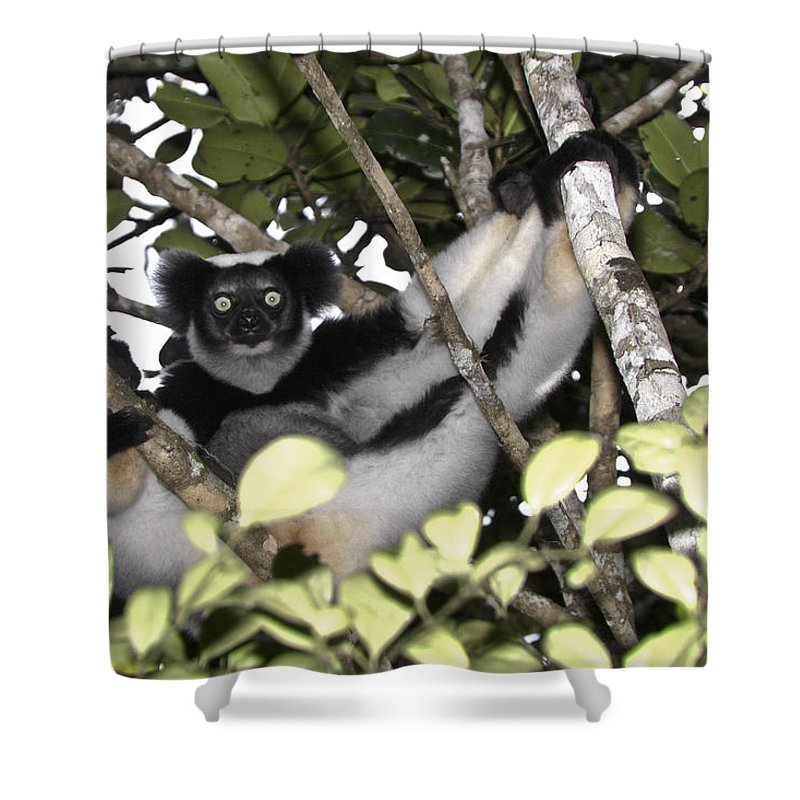 Madagascar Shower Curtain featuring the photograph Indri Indri by Michele Burgess