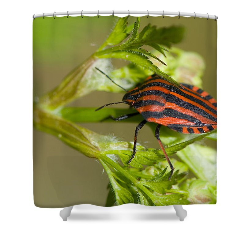 Striped Shield Bug Shower Curtain Featuring The Photograph Italian By Steen Drozd Lund