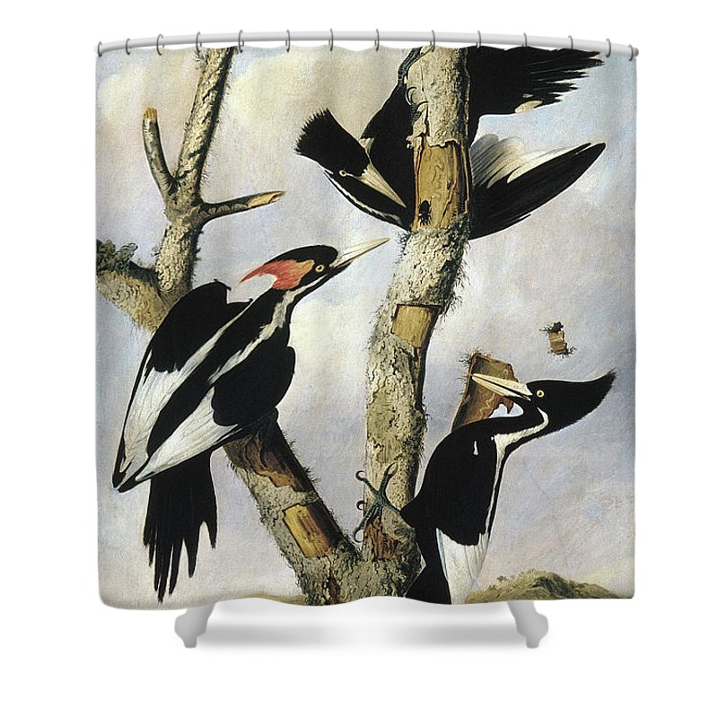 1820 Shower Curtain featuring the photograph Ivory-billed Woodpeckers by Granger