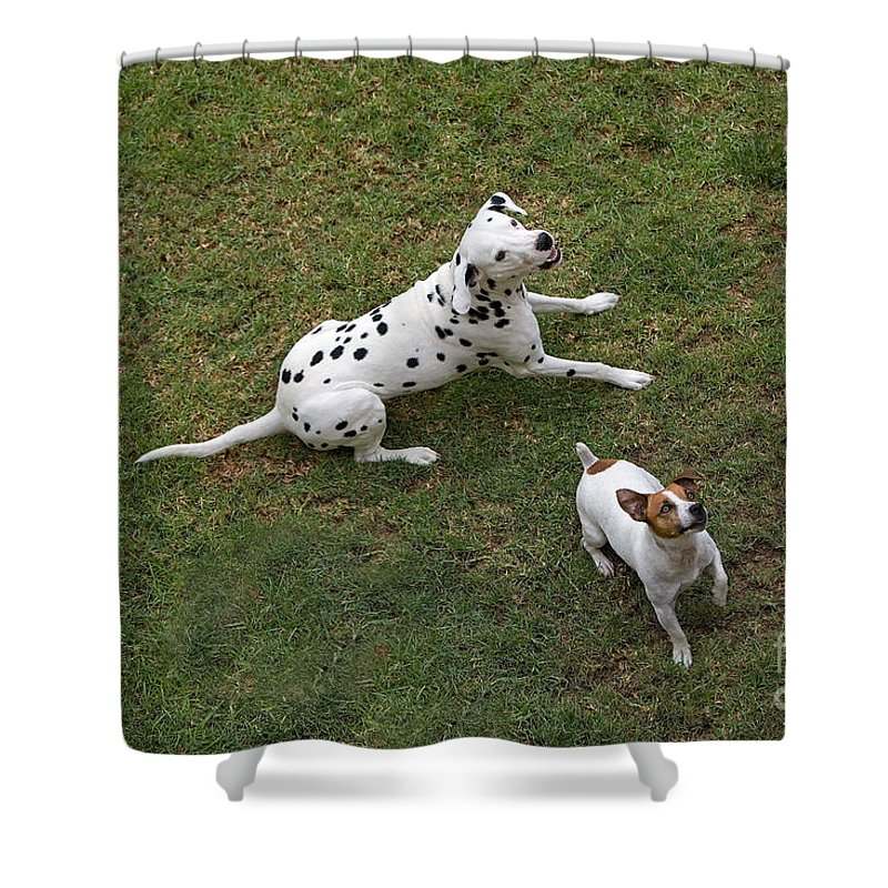 Adult Shower Curtain Featuring The Photograph Jack Russell Terrier And Dalmatian By Gerard Lacz