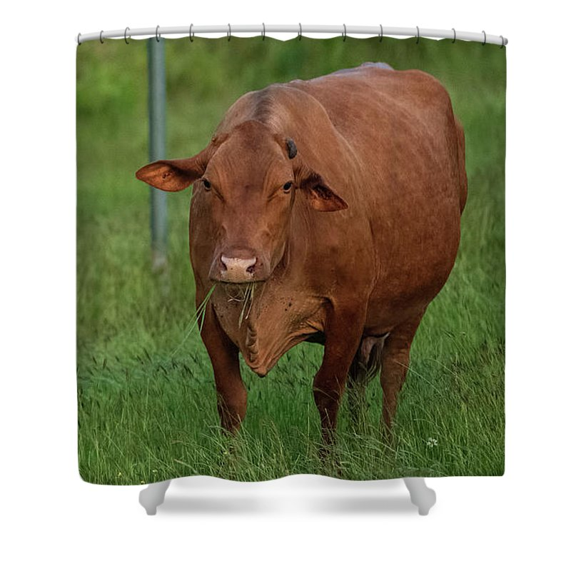 Jamaica Hope Cow Shower Curtain For Sale By David Oppenheimer