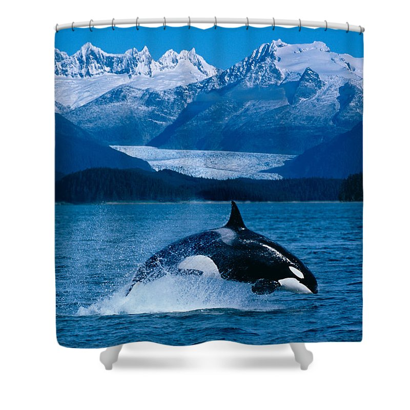 Breach Shower Curtain Featuring The Photograph Jumping Orca By John Hyde