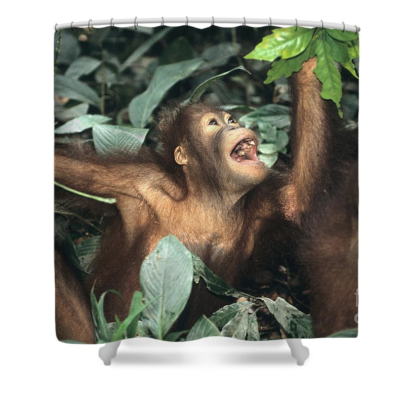 Orangutan Shower Curtain featuring the photograph Juvenile Orangutans by Inga Spence