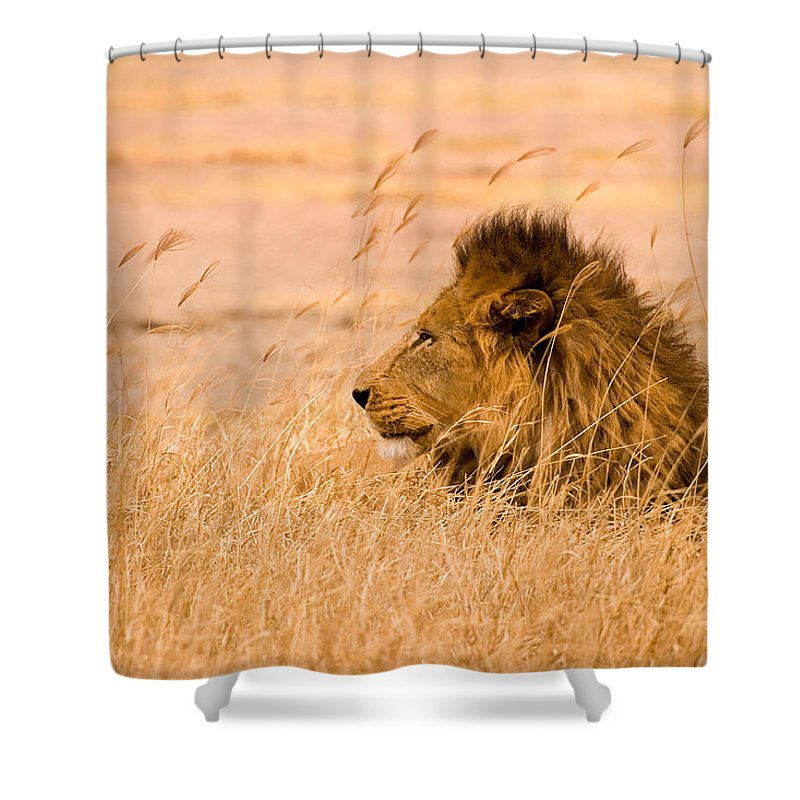 3scape Shower Curtain featuring the photograph King Of The Pride by Adam Romanowicz